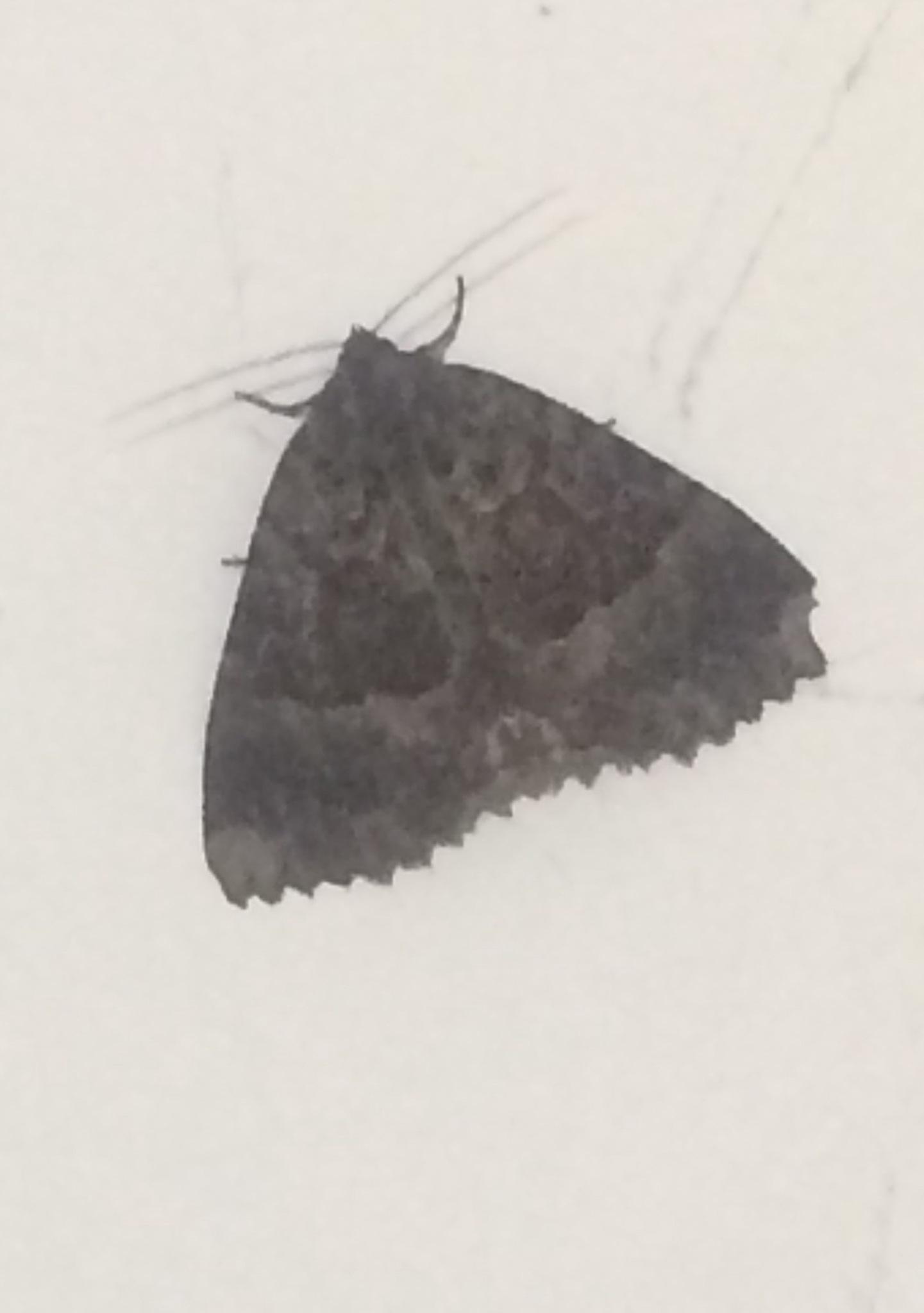 'Old Lady' Moth by HelenaM