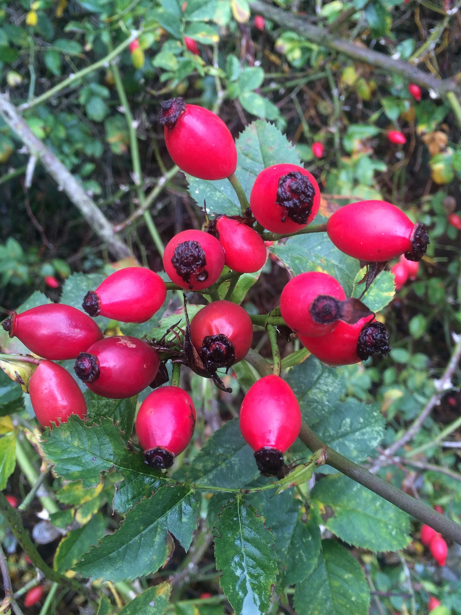Rose hip cluster  by HelenaM