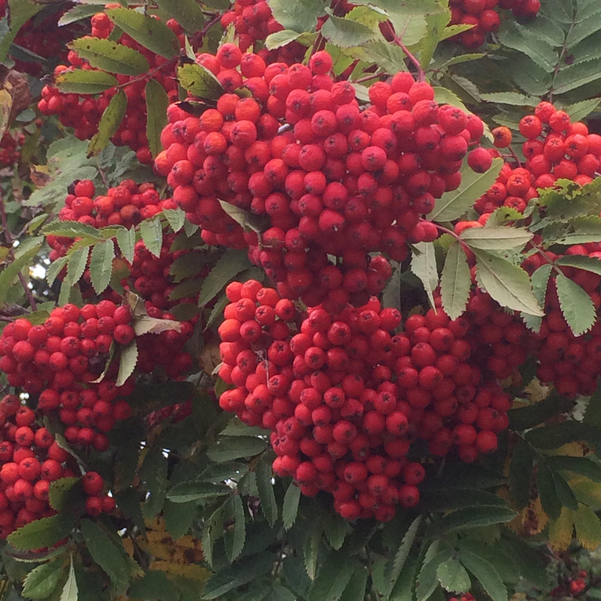 Rowan Berries  by HelenaM