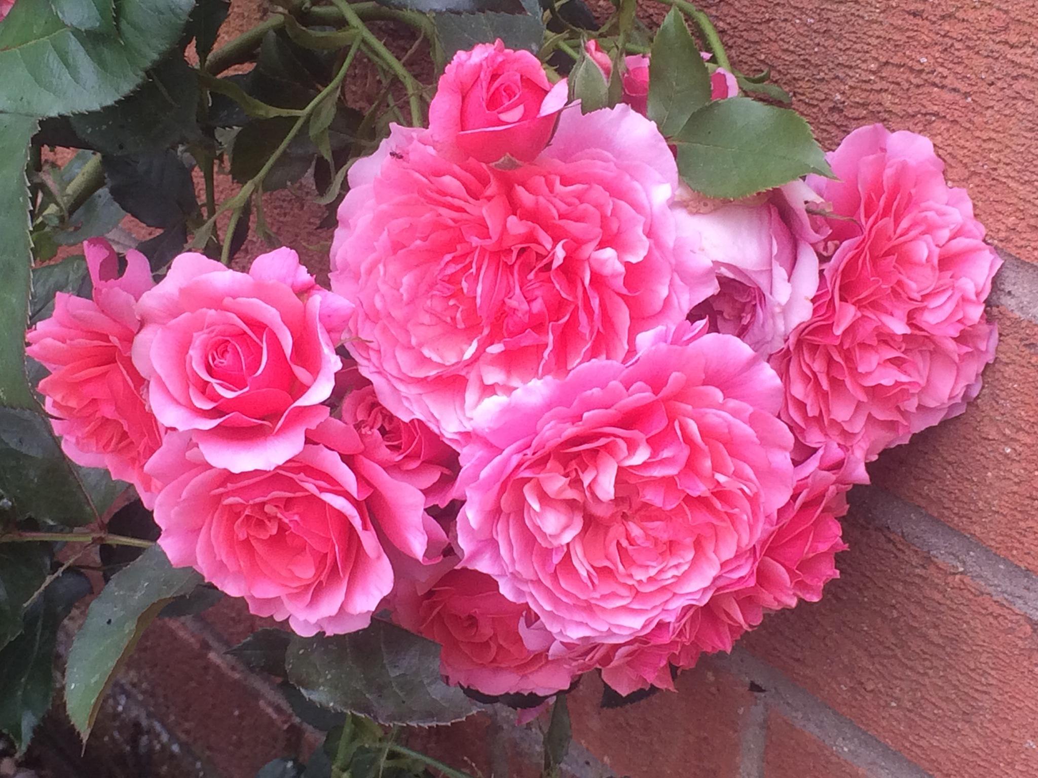 Multi headed Rose by HelenaM