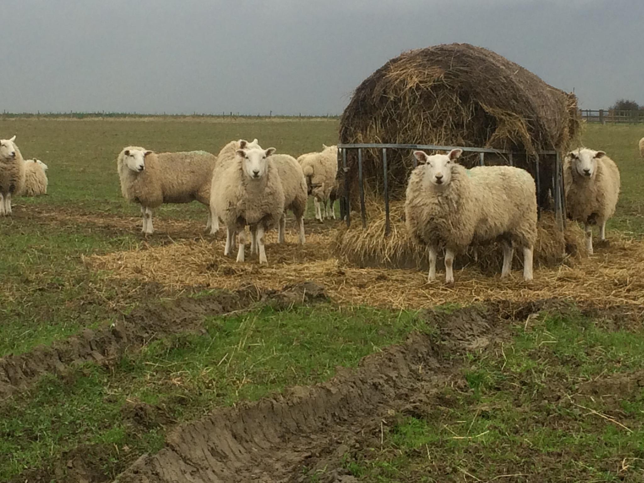 Curious Sheep  by HelenaM