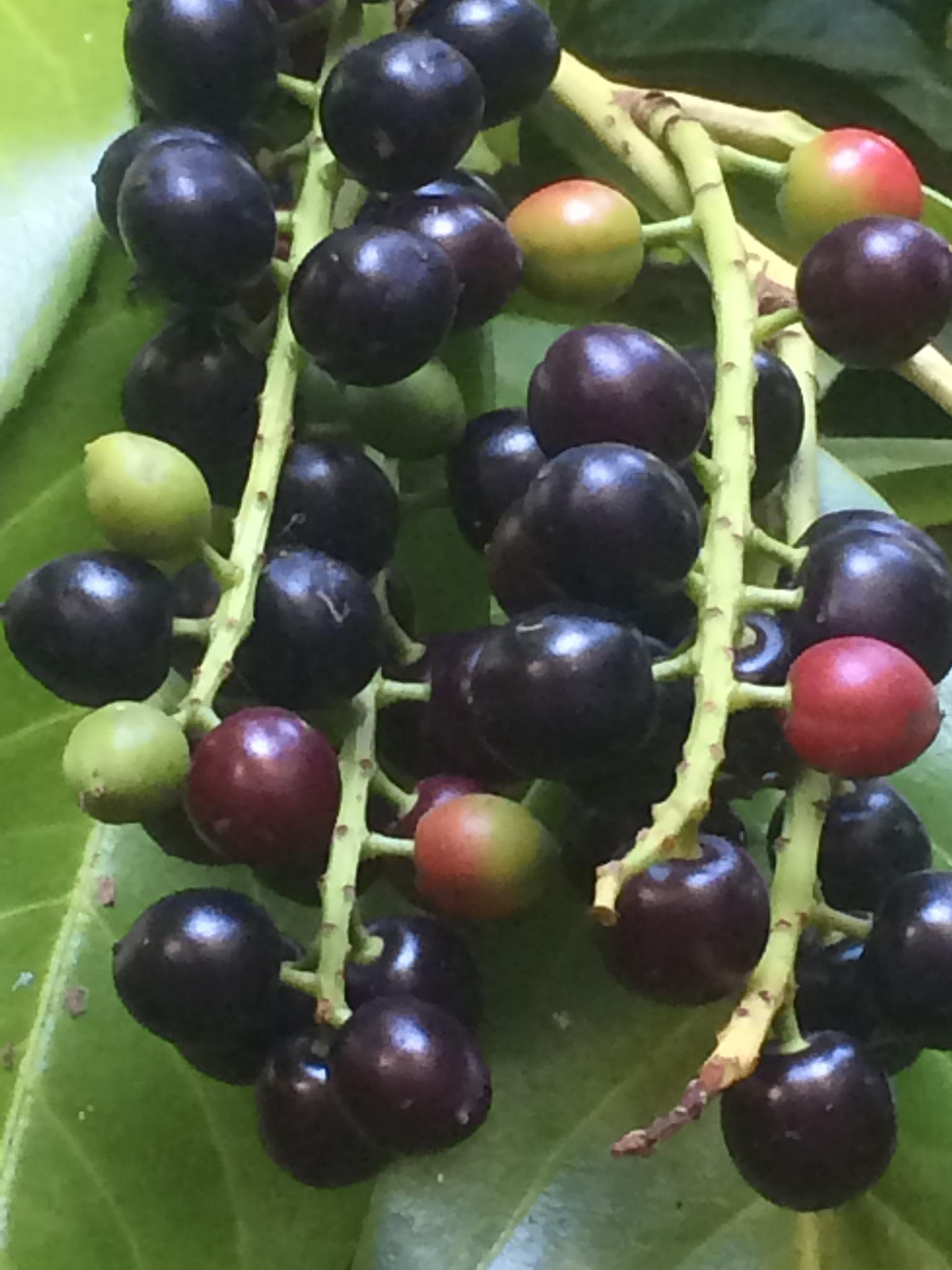 Bunch of Berries  by HelenaM