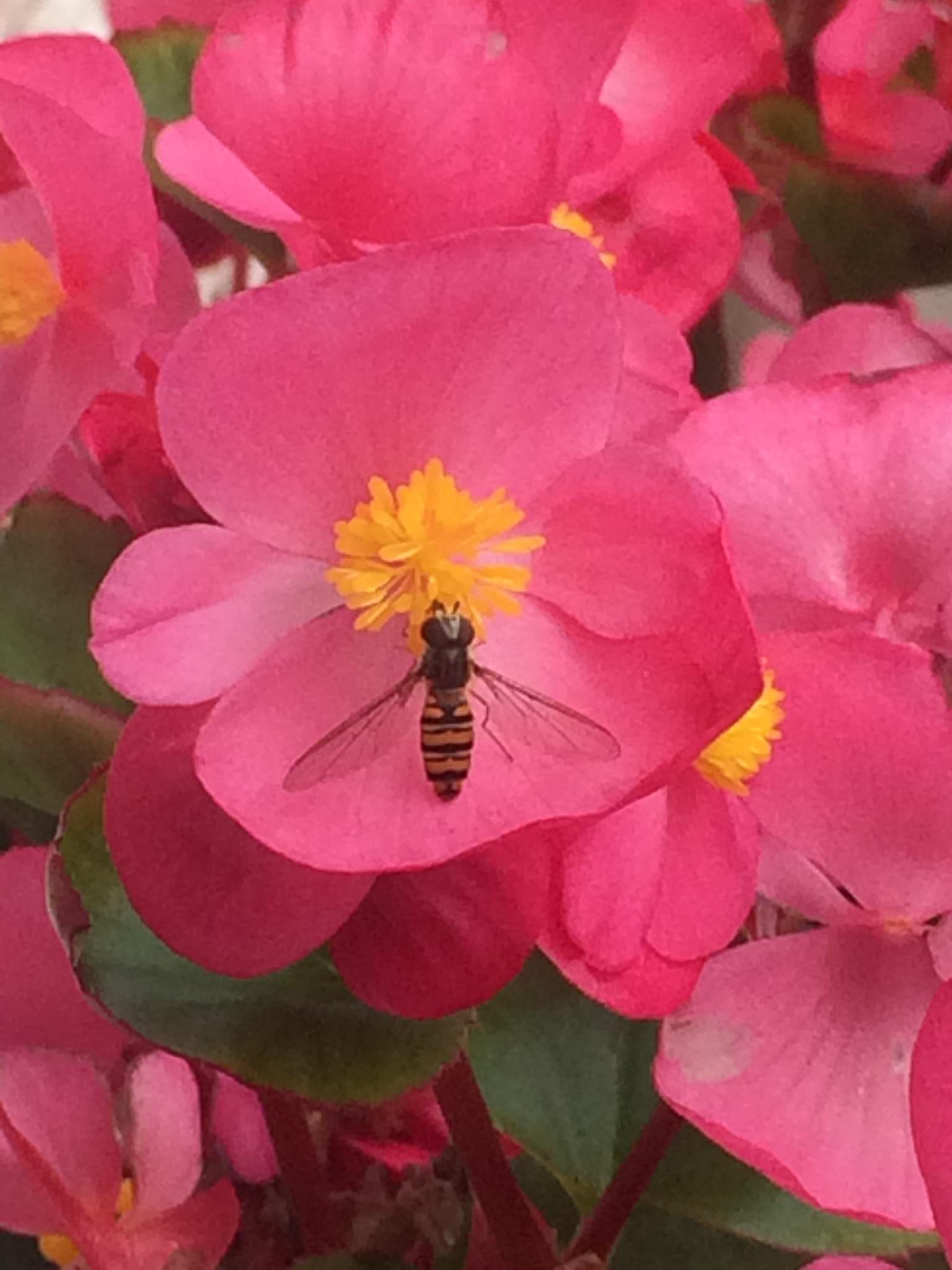 Begonia Bee by HelenaM