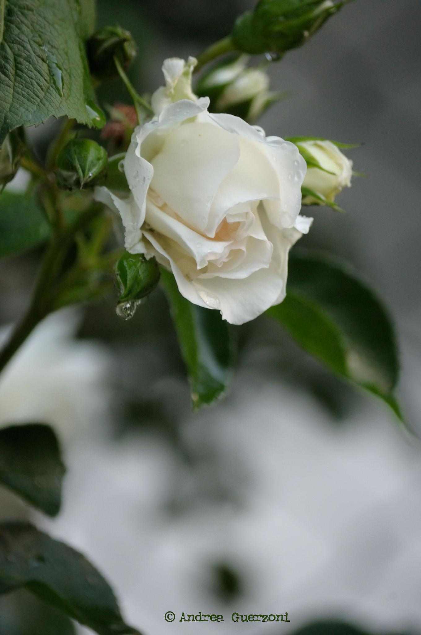 White rose by Andrea Guerzoni