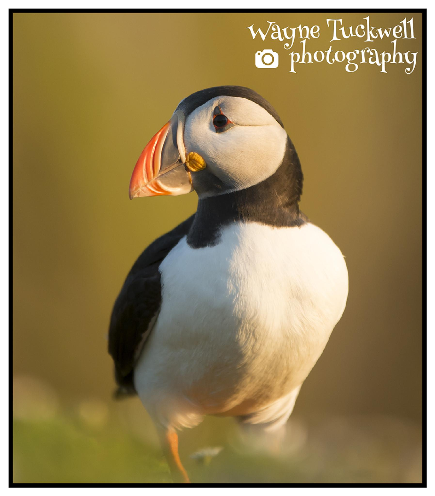 Puffin by wayne.tuckwell