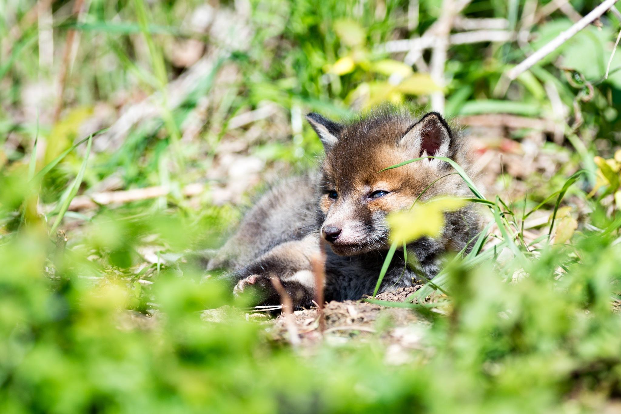 Fox Cub by wayne.tuckwell