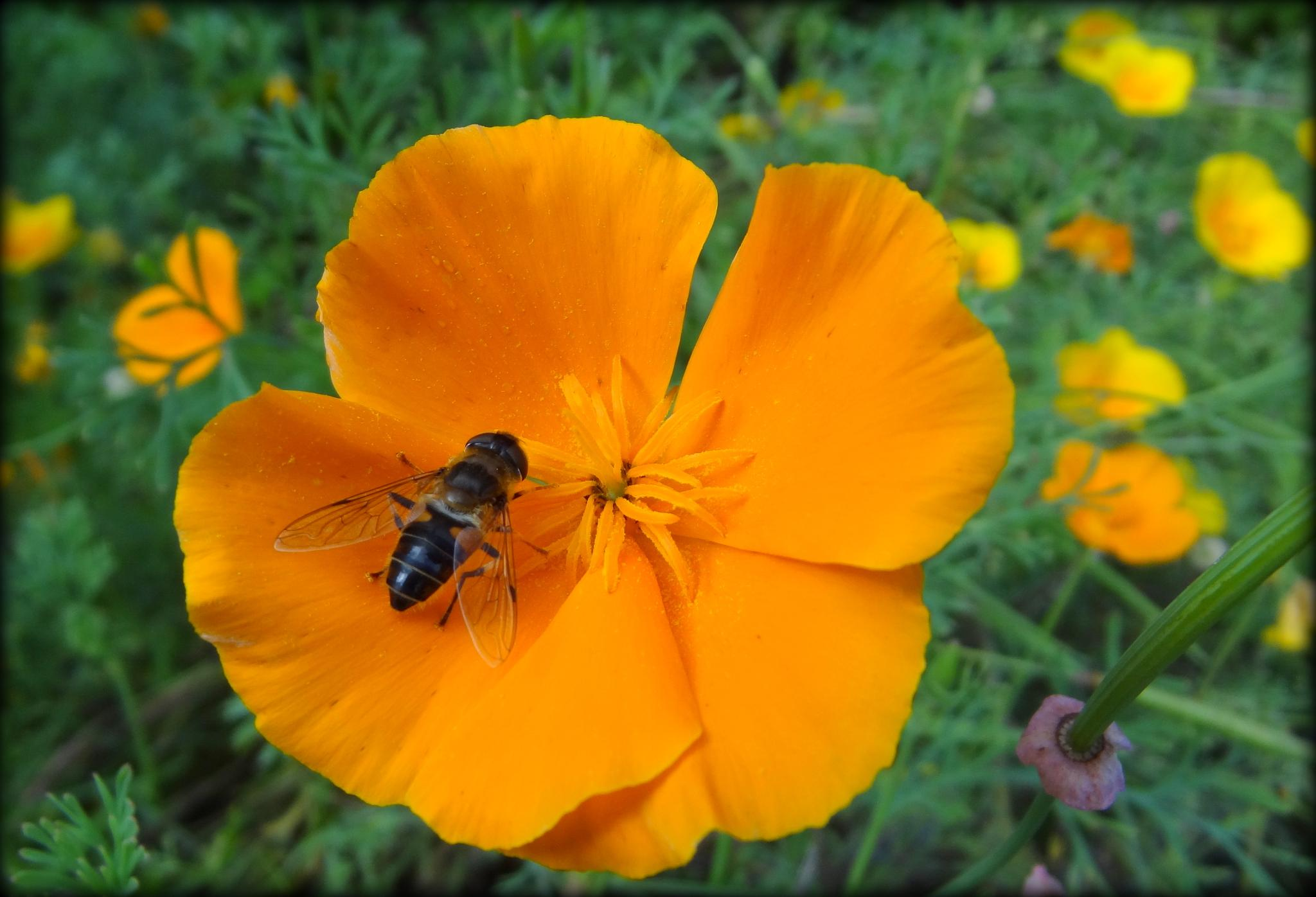 Resting in the California Poppies by jcmunckton