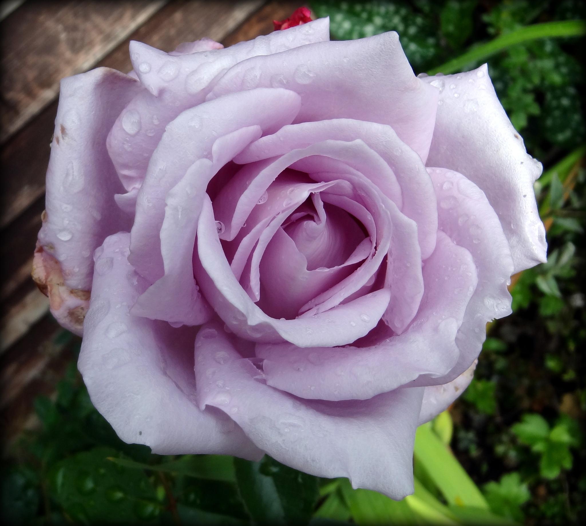 Last Rose of Summer by jcmunckton