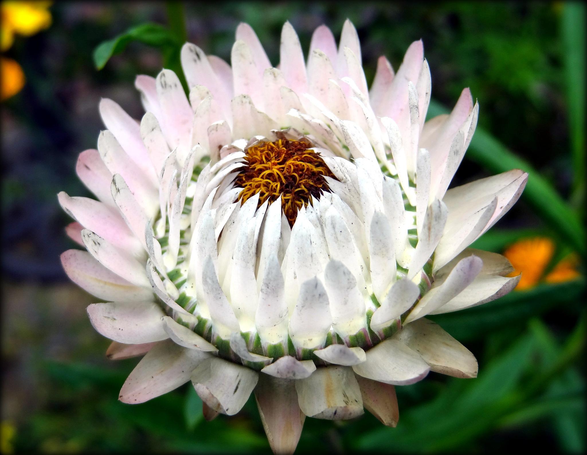 Strawflower by jcmunckton
