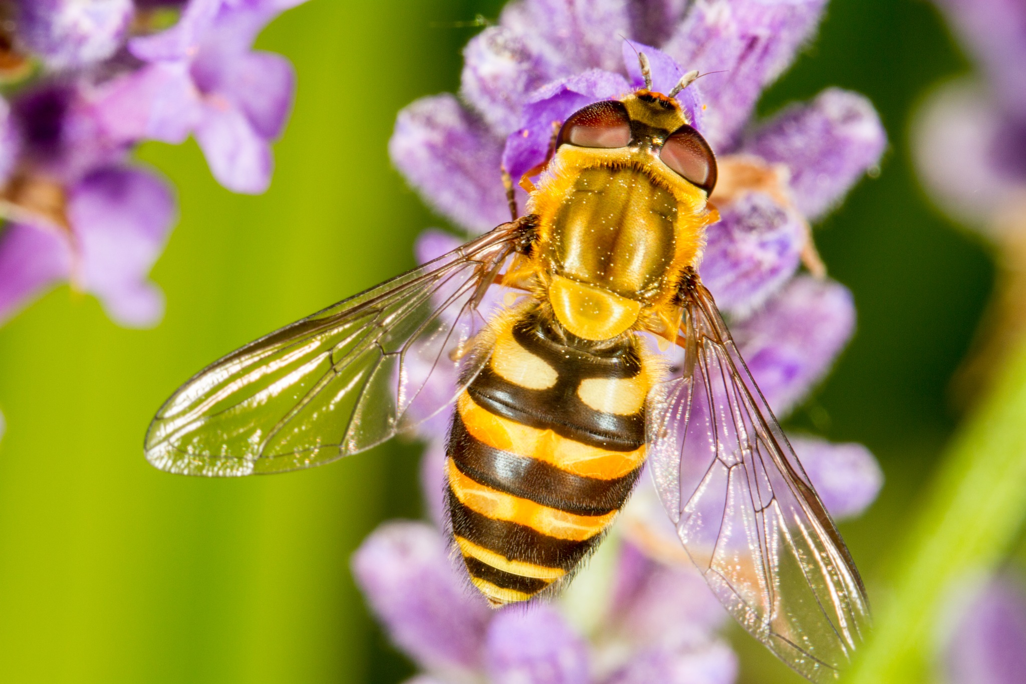 Hoverfly - Syrphus by David Arnold