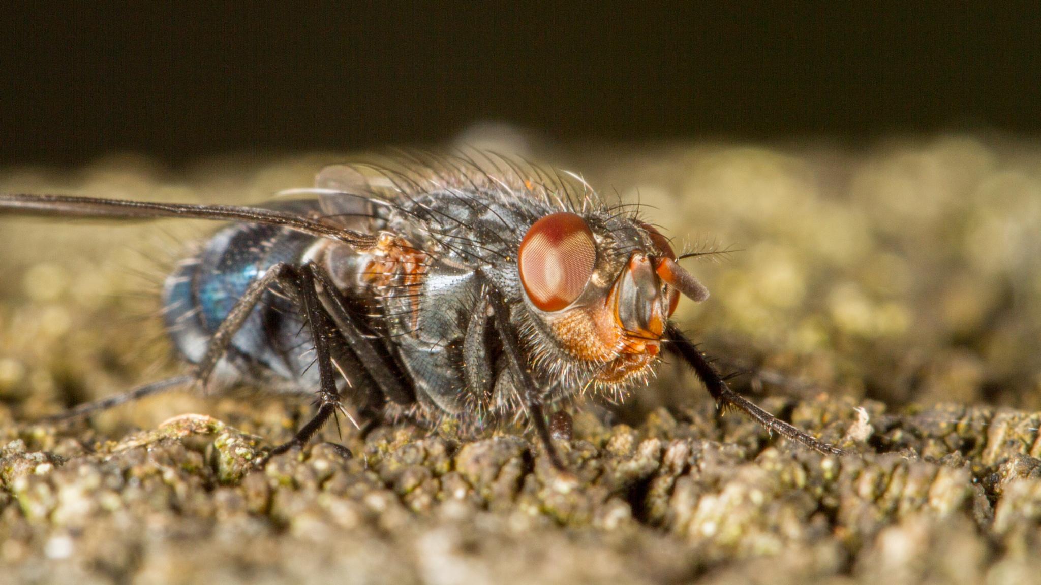 Blue Bottle Fly by David Arnold