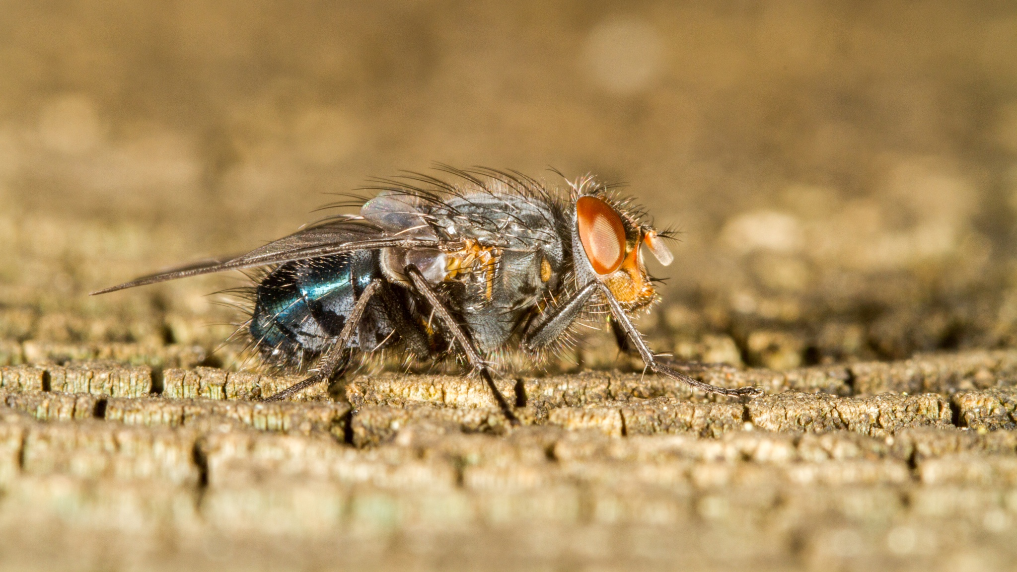 Photo in Macro #blue #bottle #fly