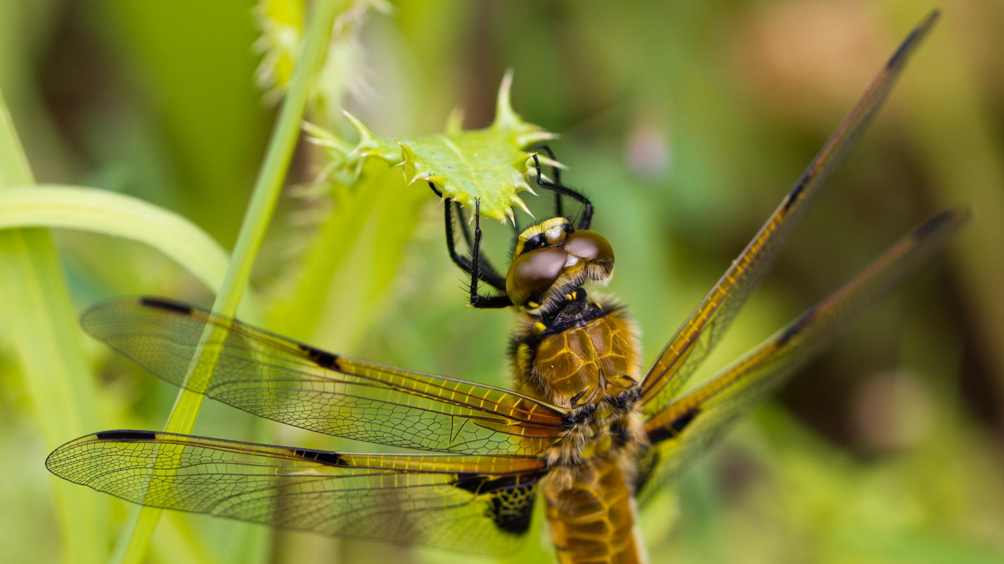 Four-Spot Chaser Dragonfly by David Arnold