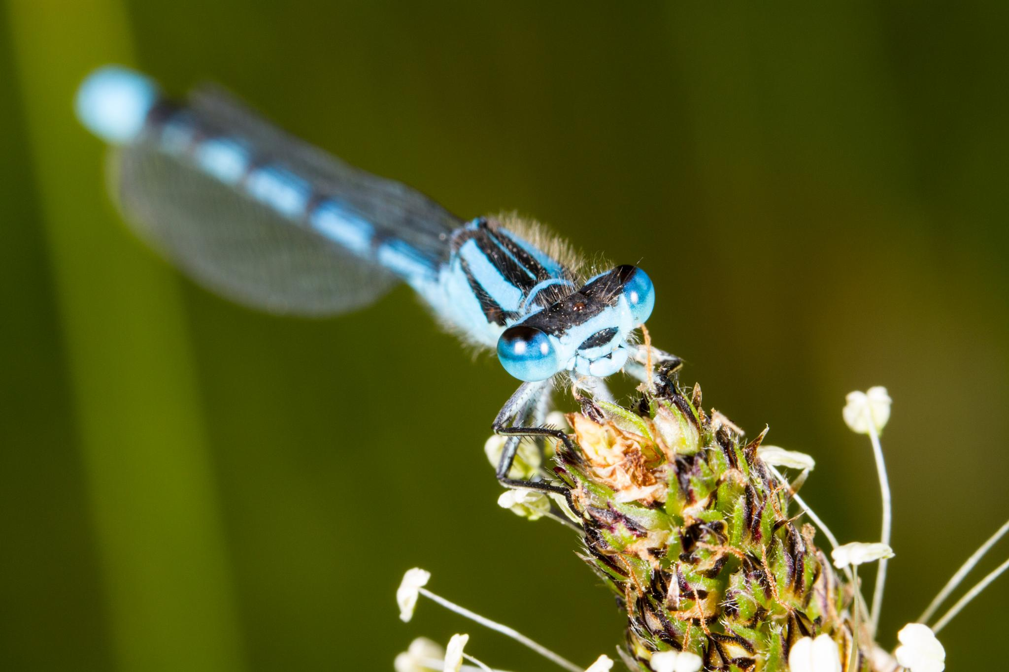 Common Blue Damselfly by David Arnold