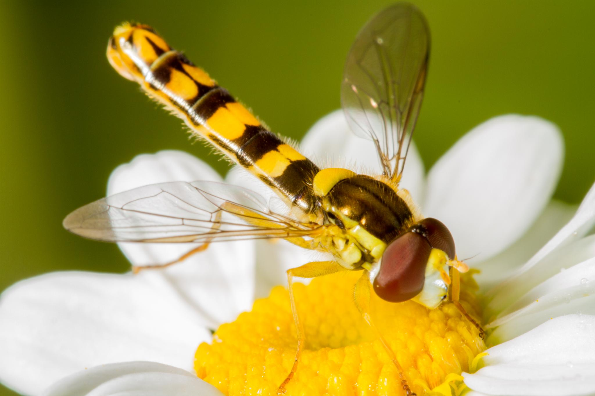 Hoverfly by David Arnold