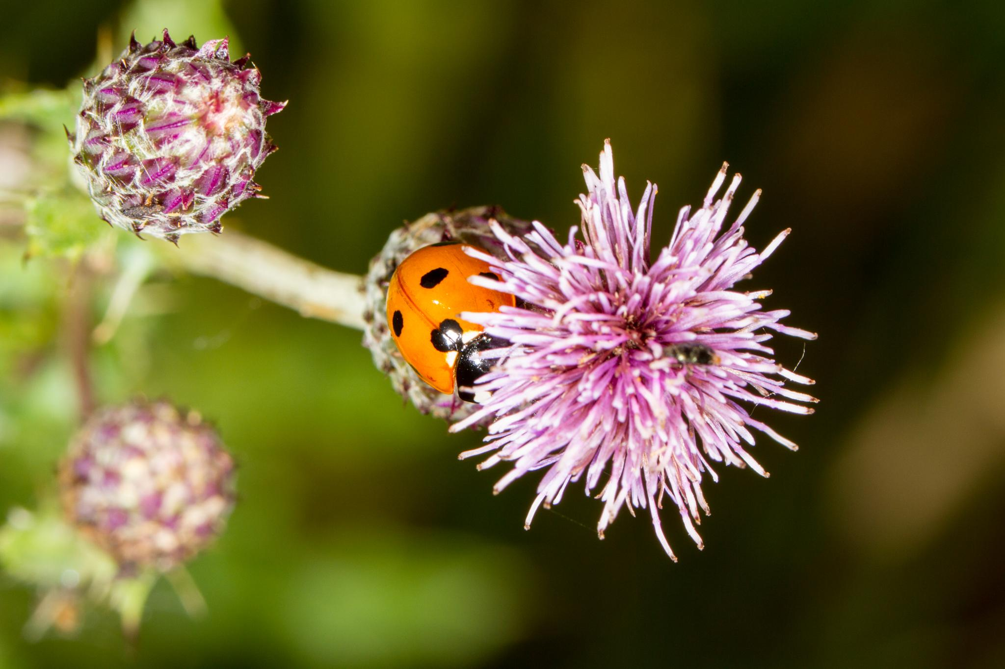 Ladybird by David Arnold