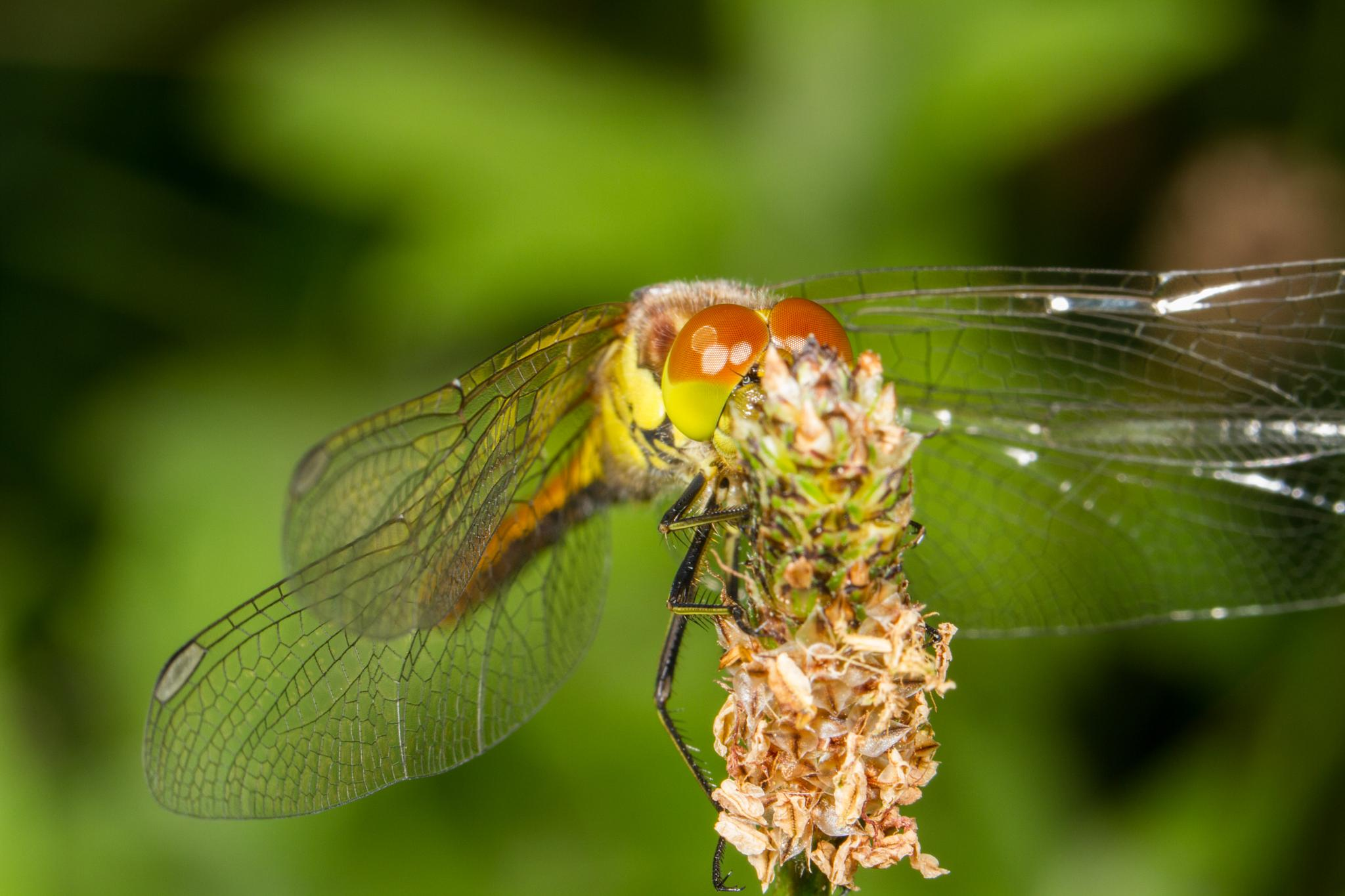 Common Darter Dragonfly by David Arnold