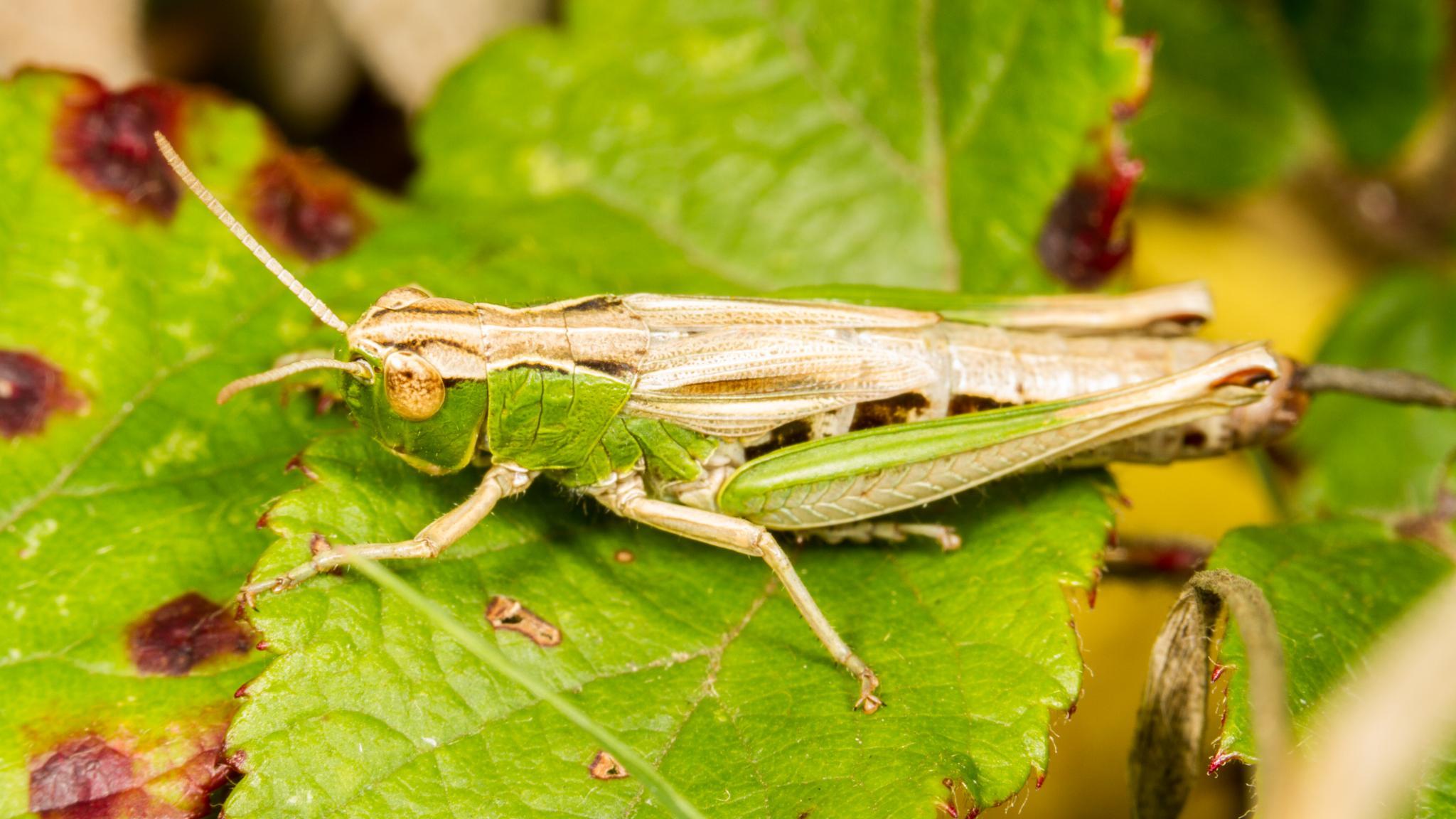 Grasshopper by David Arnold