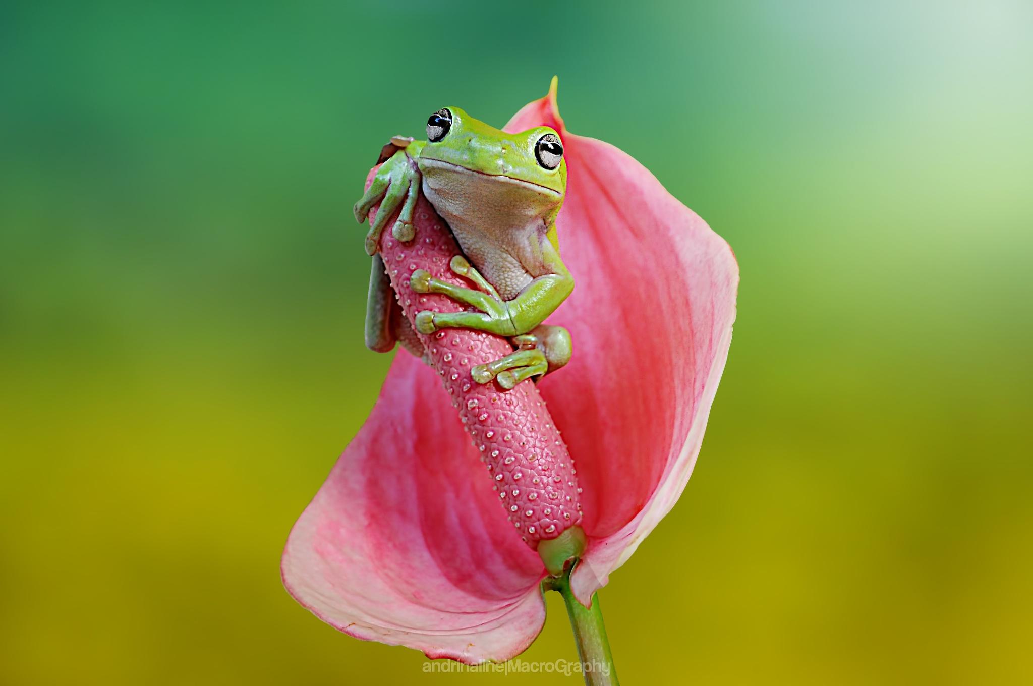 dumpy frog by Andri Priyadi