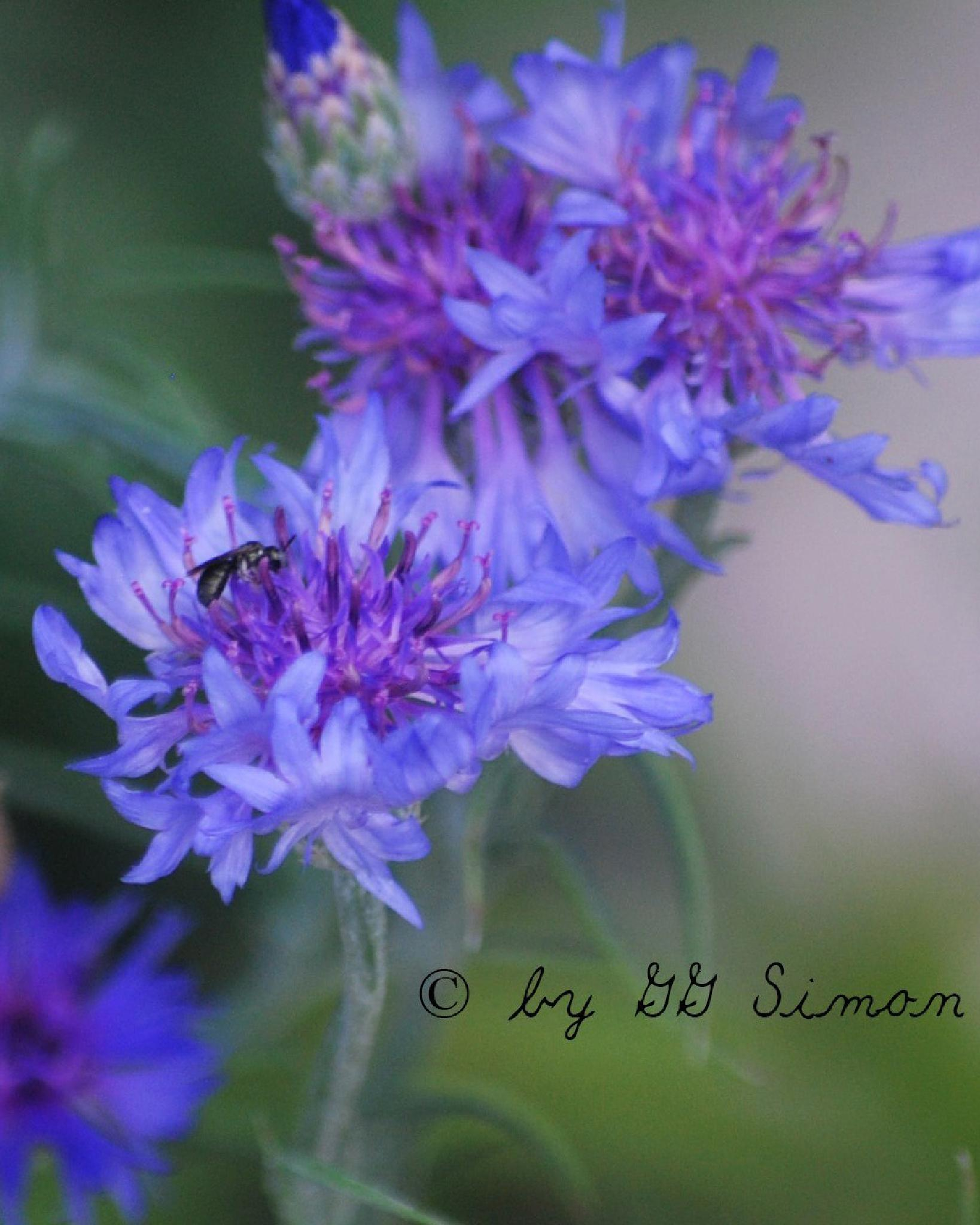 Blue flower by simongg