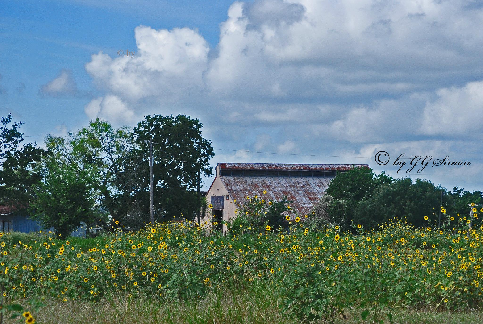 Photo in Landscape #barn #sinflowers #old