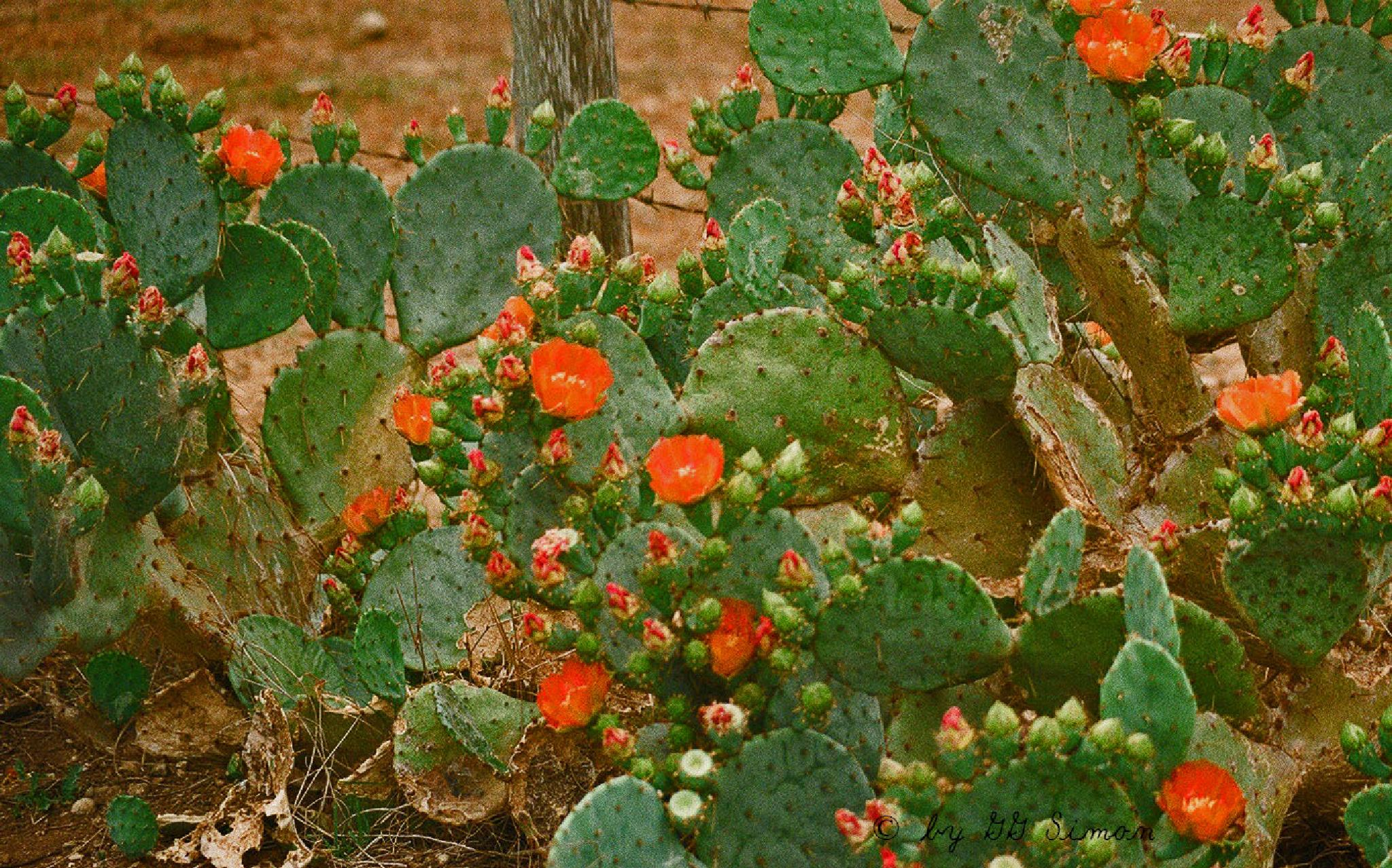 Texas cactus  by simongg