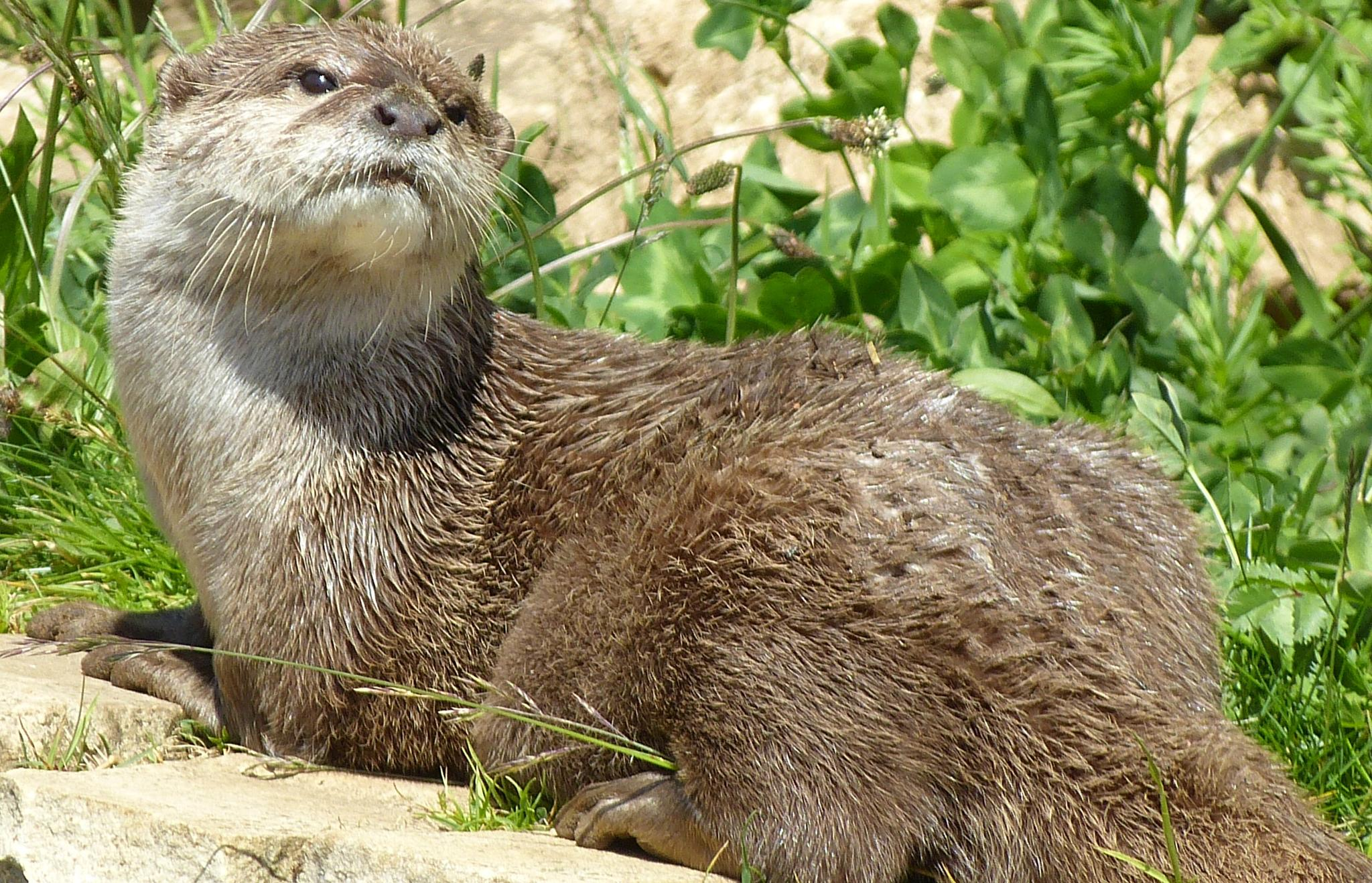 Otter by jeannielemercier39