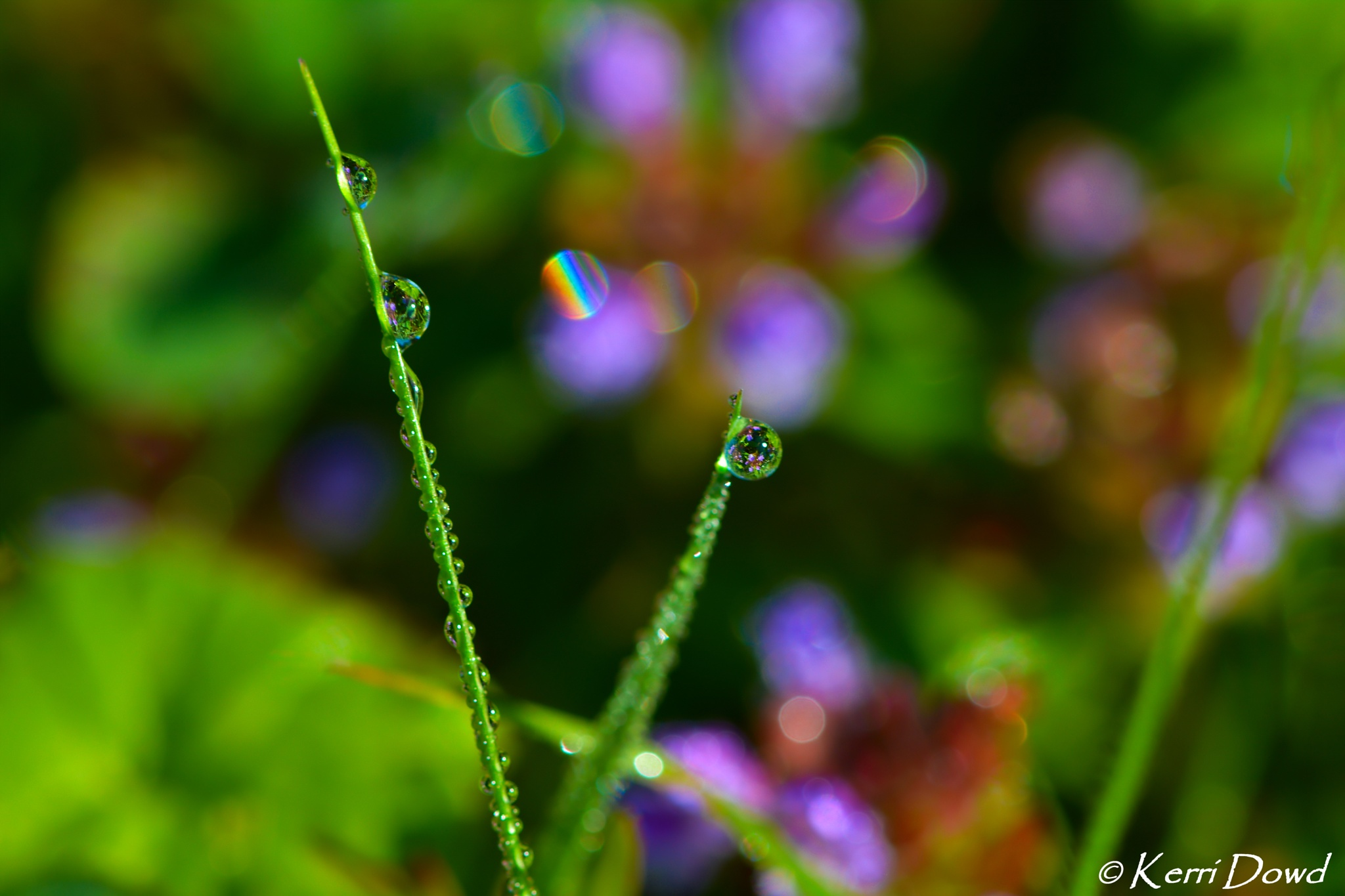 Rainbows and Dew Drops by Kerri Miles