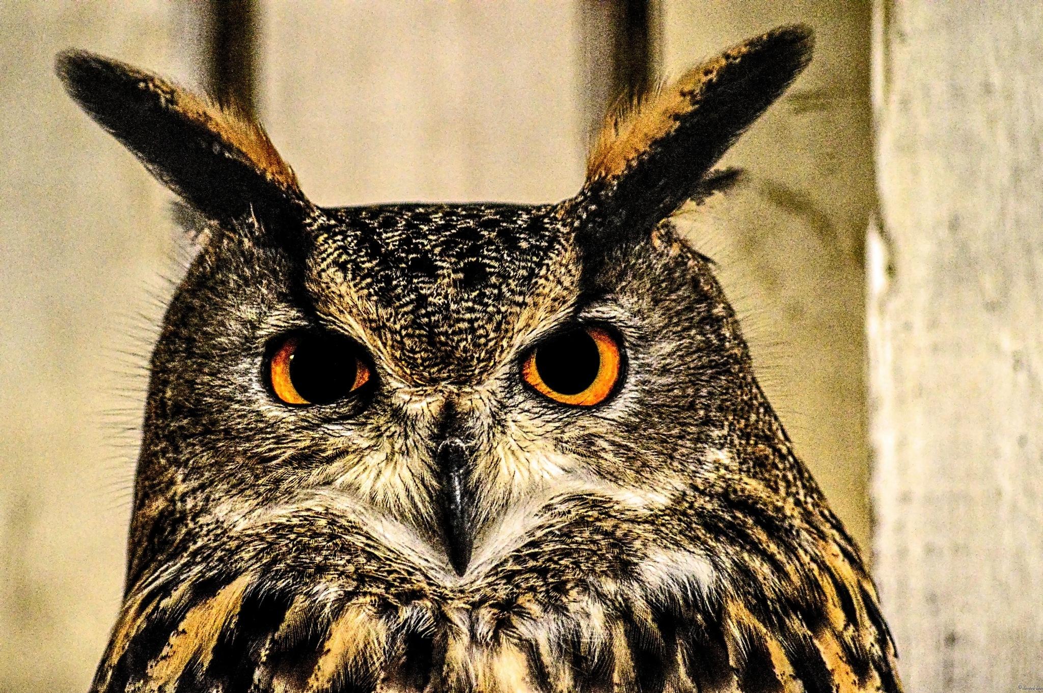 owl by Sheepekbaa