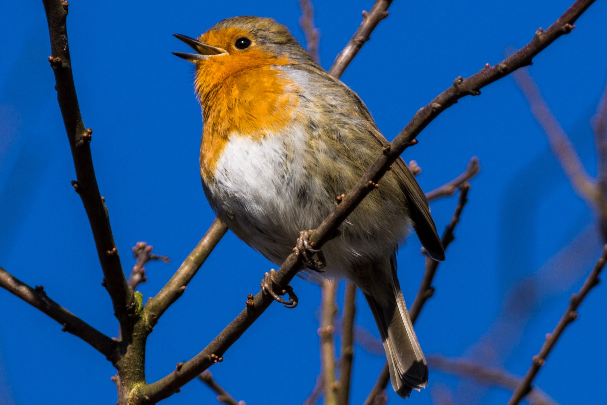 Little Robin Red Breast  by Graham Cunningham