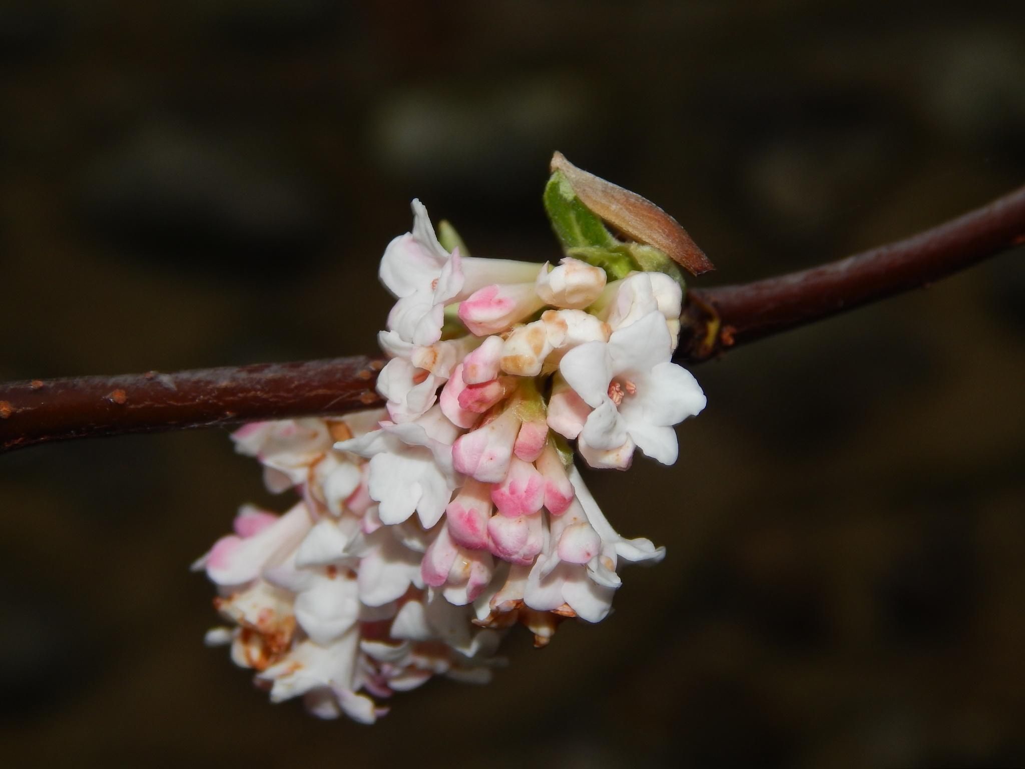 hi blossom by malcolmwoodhams9