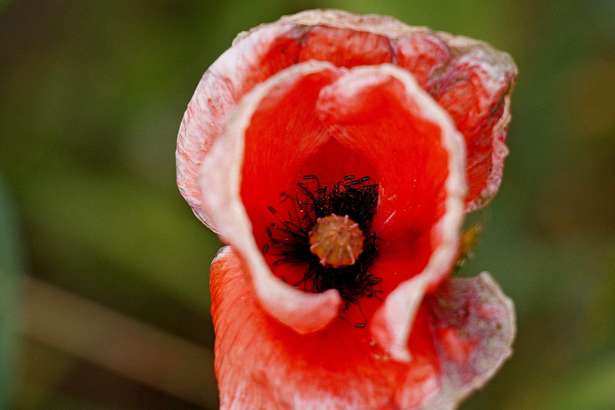 POPPY INSIDE by Paulus5301