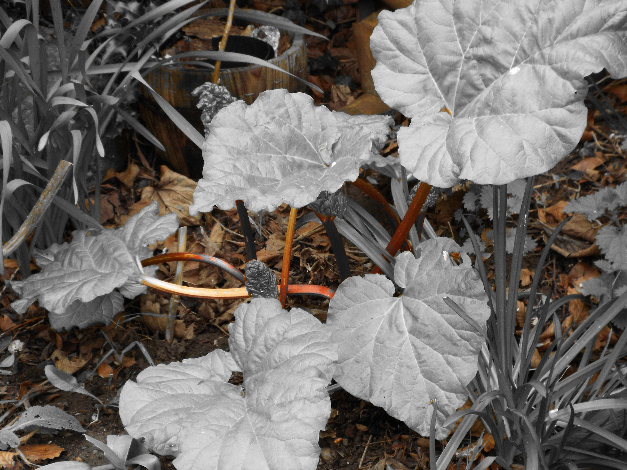 rhubarb by julie