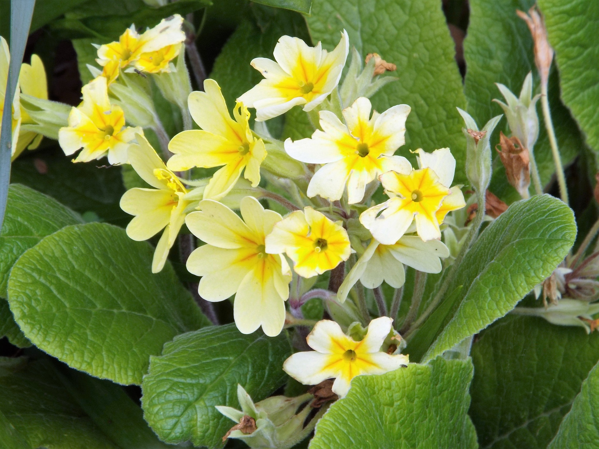 yellow primulas by julie
