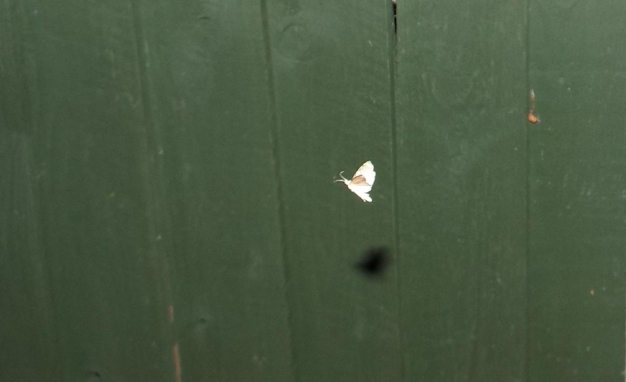 moth and its shadow by julie