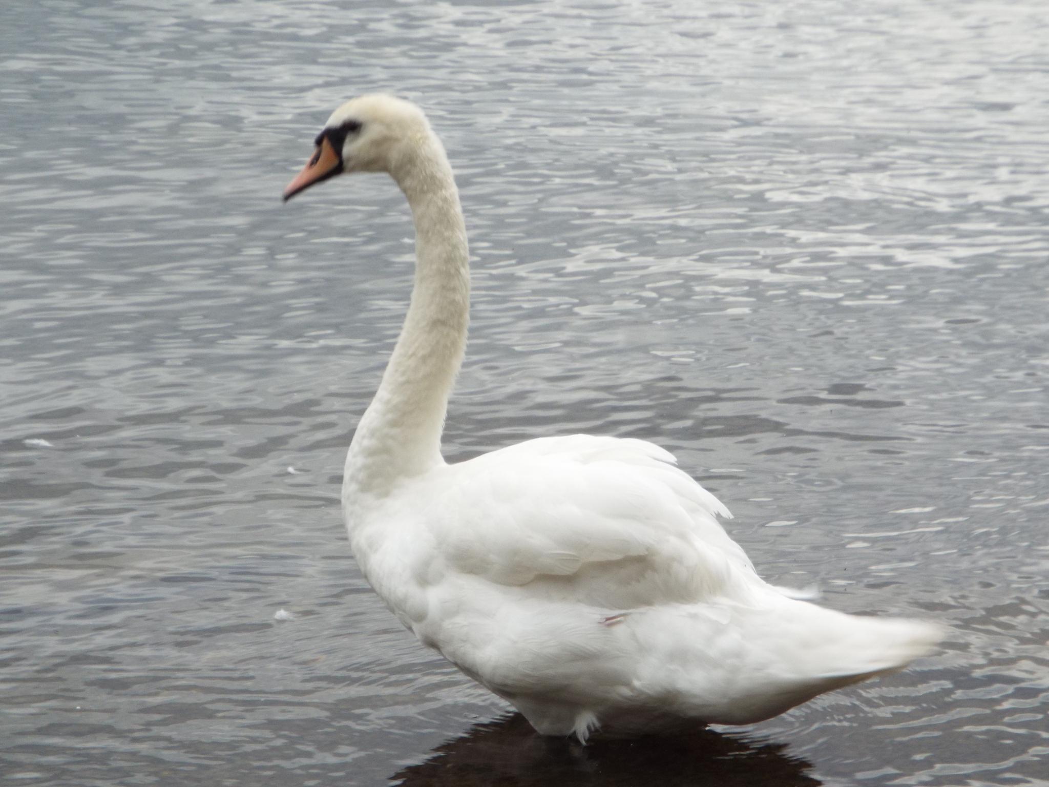 swan song by julie