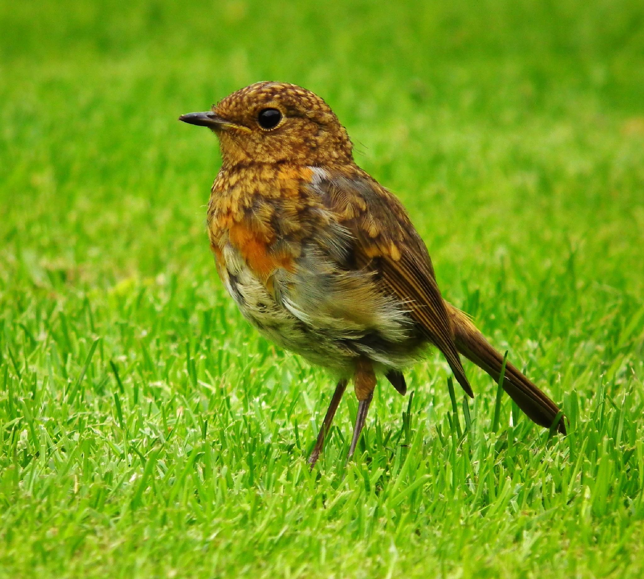 Juvenile Robin by bekky64