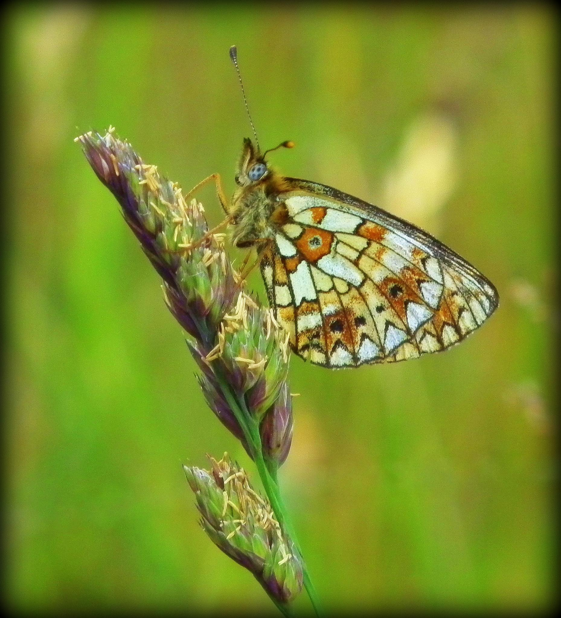 Small pearl-bordered fritillary by bekky64