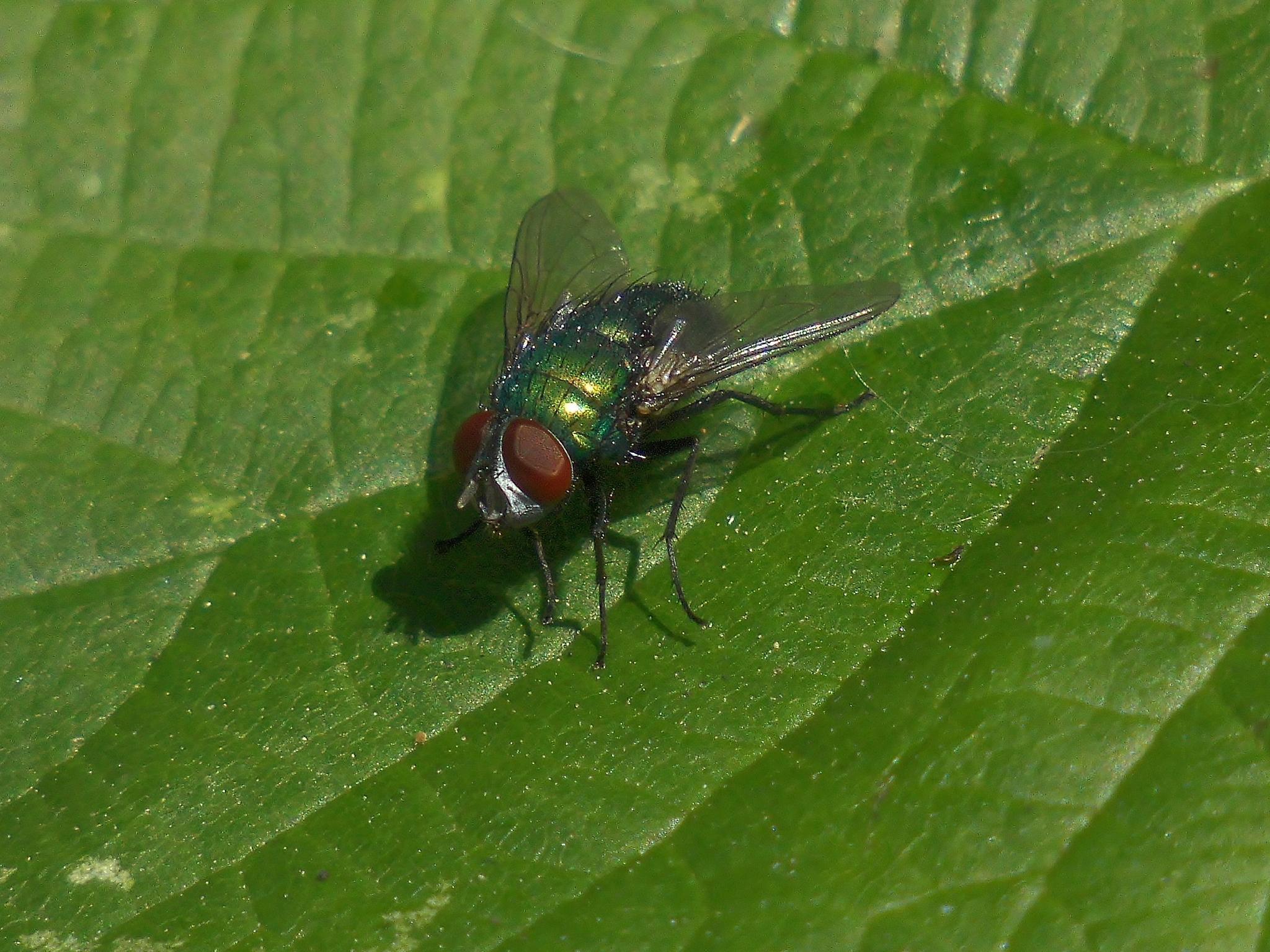 Jewel-like fly by Sallyw
