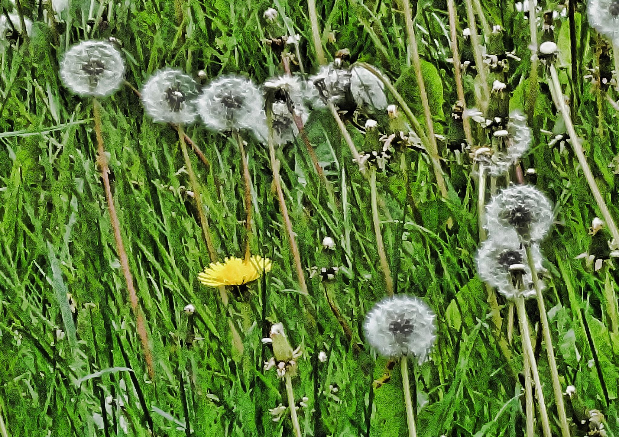 Dandelion clocks and flower by Sallyw
