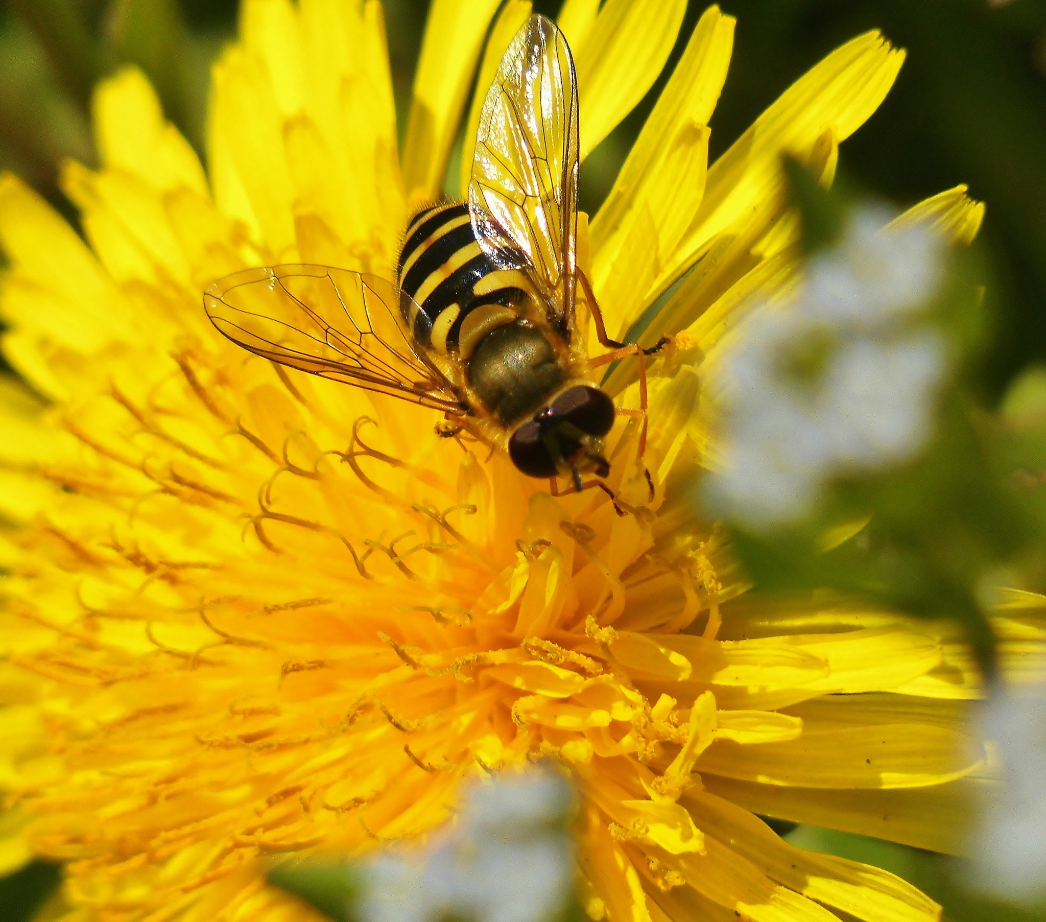 Hoverfly on dandelion by Sallyw
