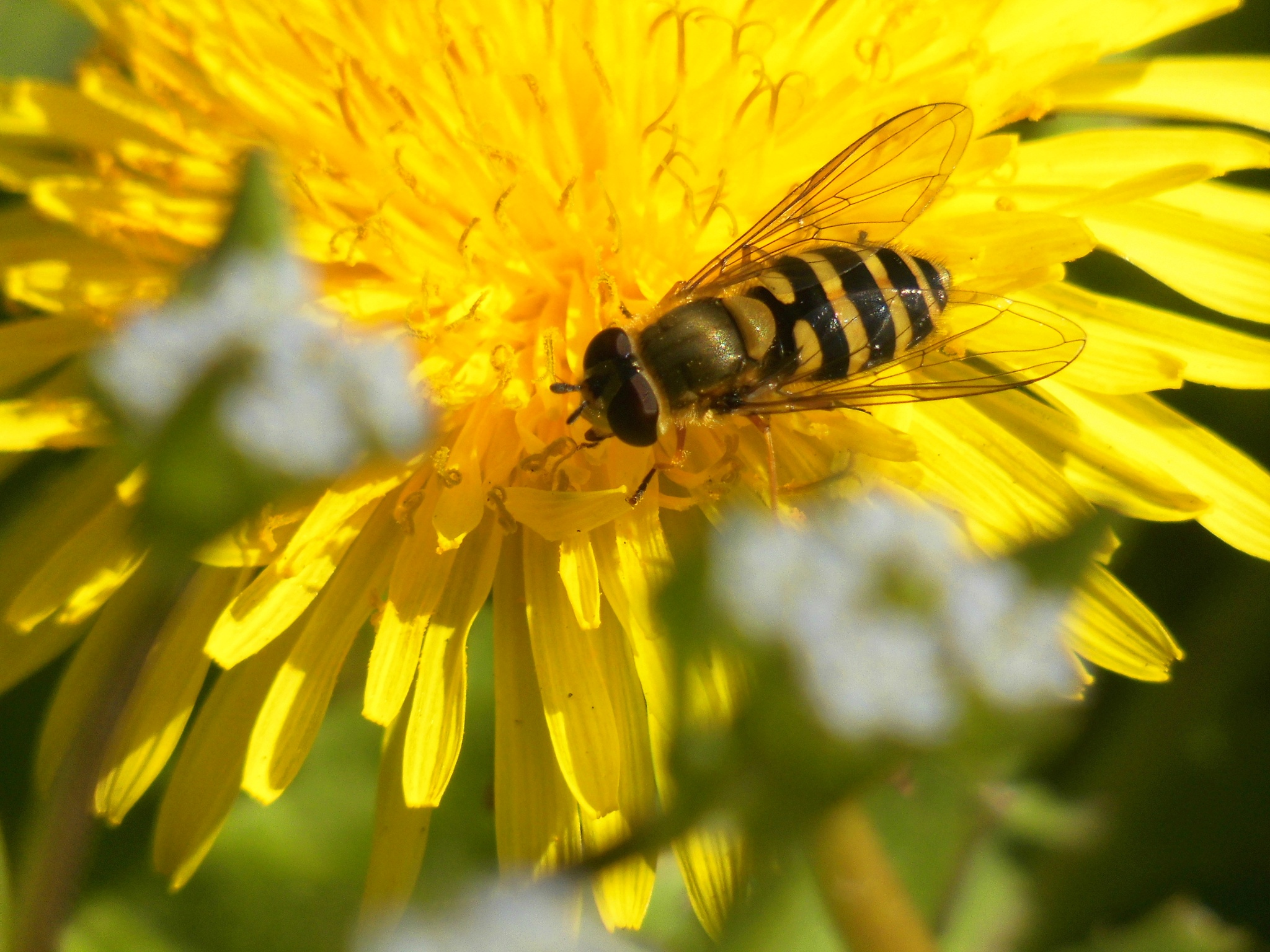 Hoverfly on a Dandelion by Sallyw