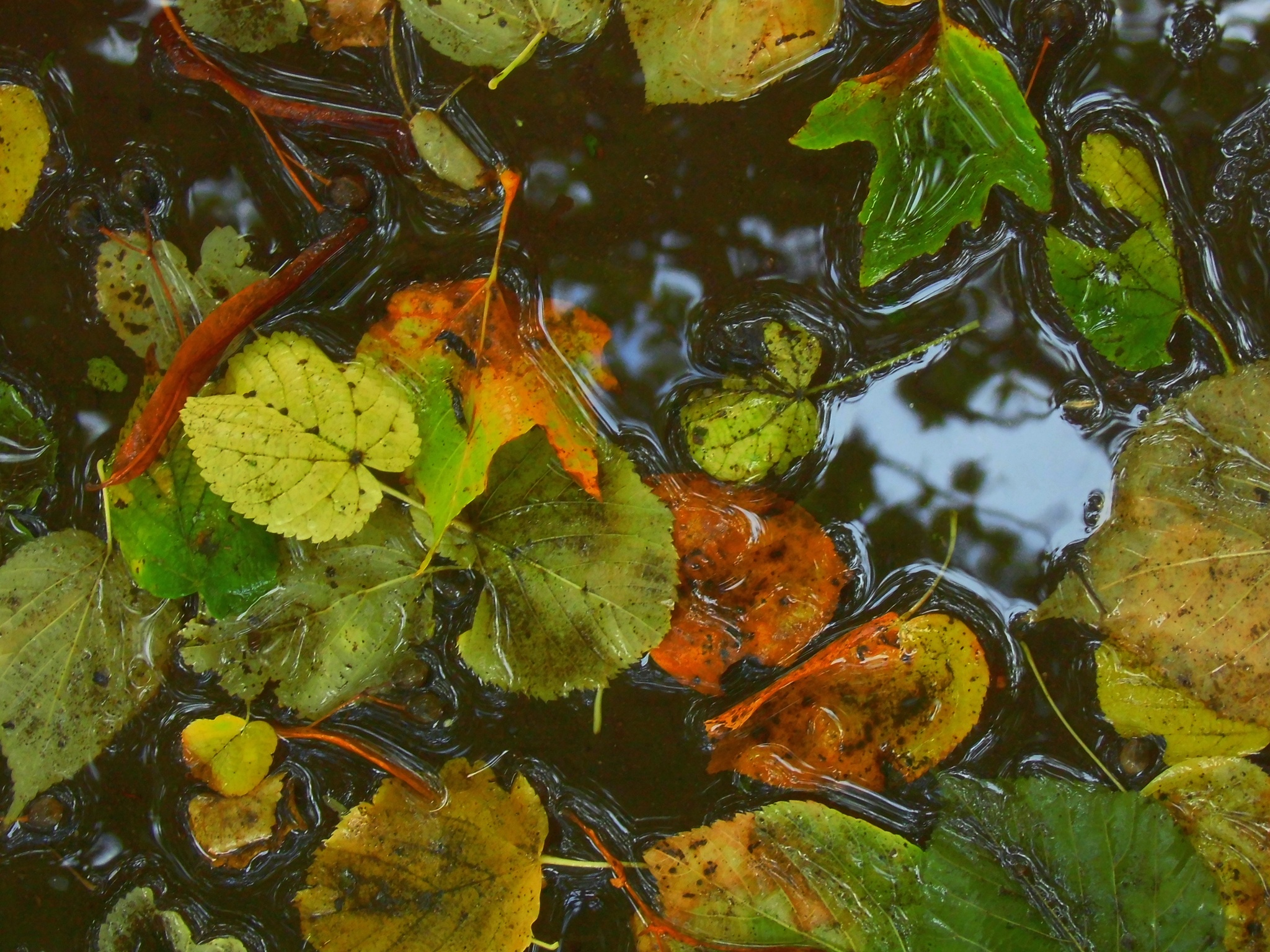 Wet Leaves by Sallyw