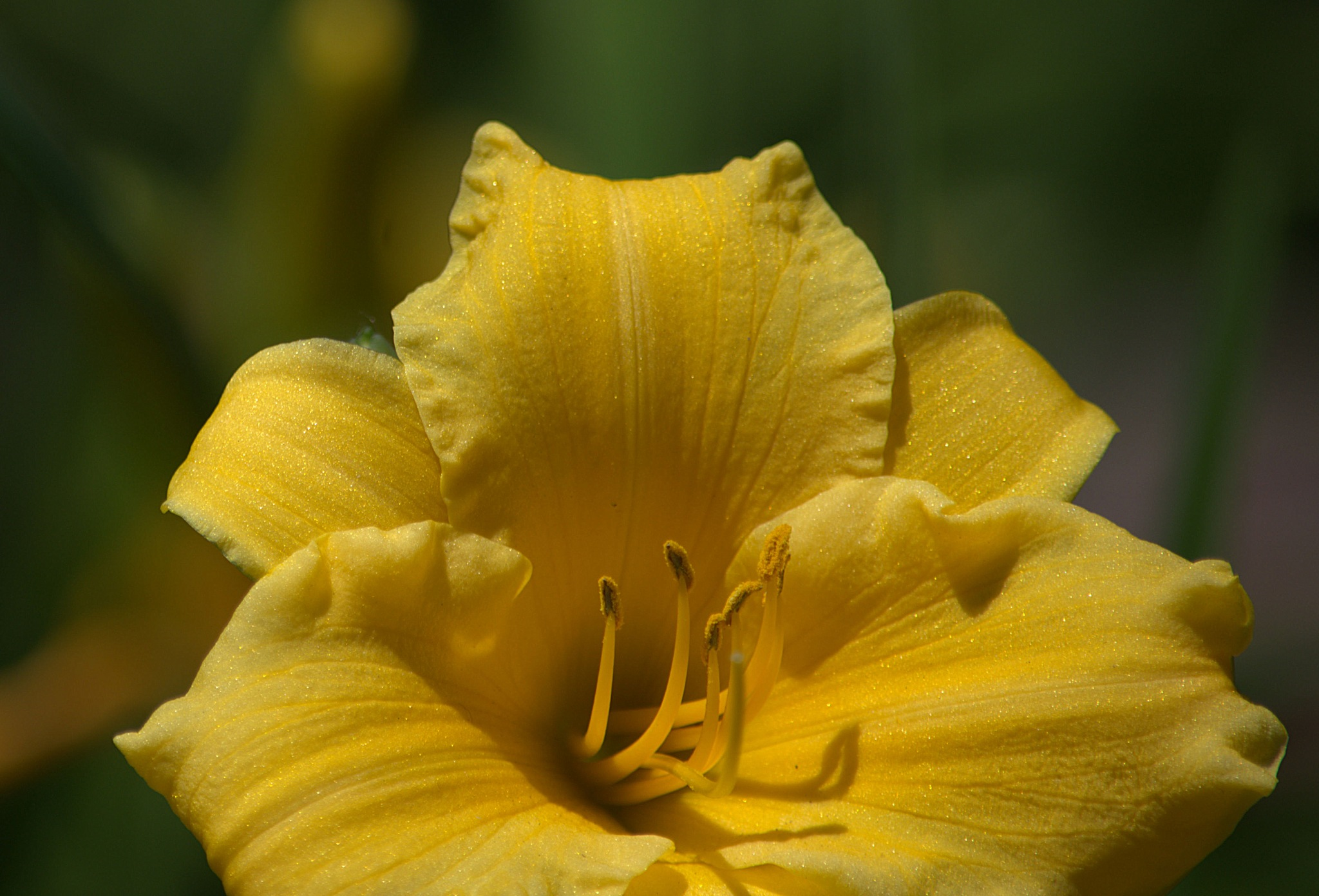 Lily In Sweet Yellow by pscottwong