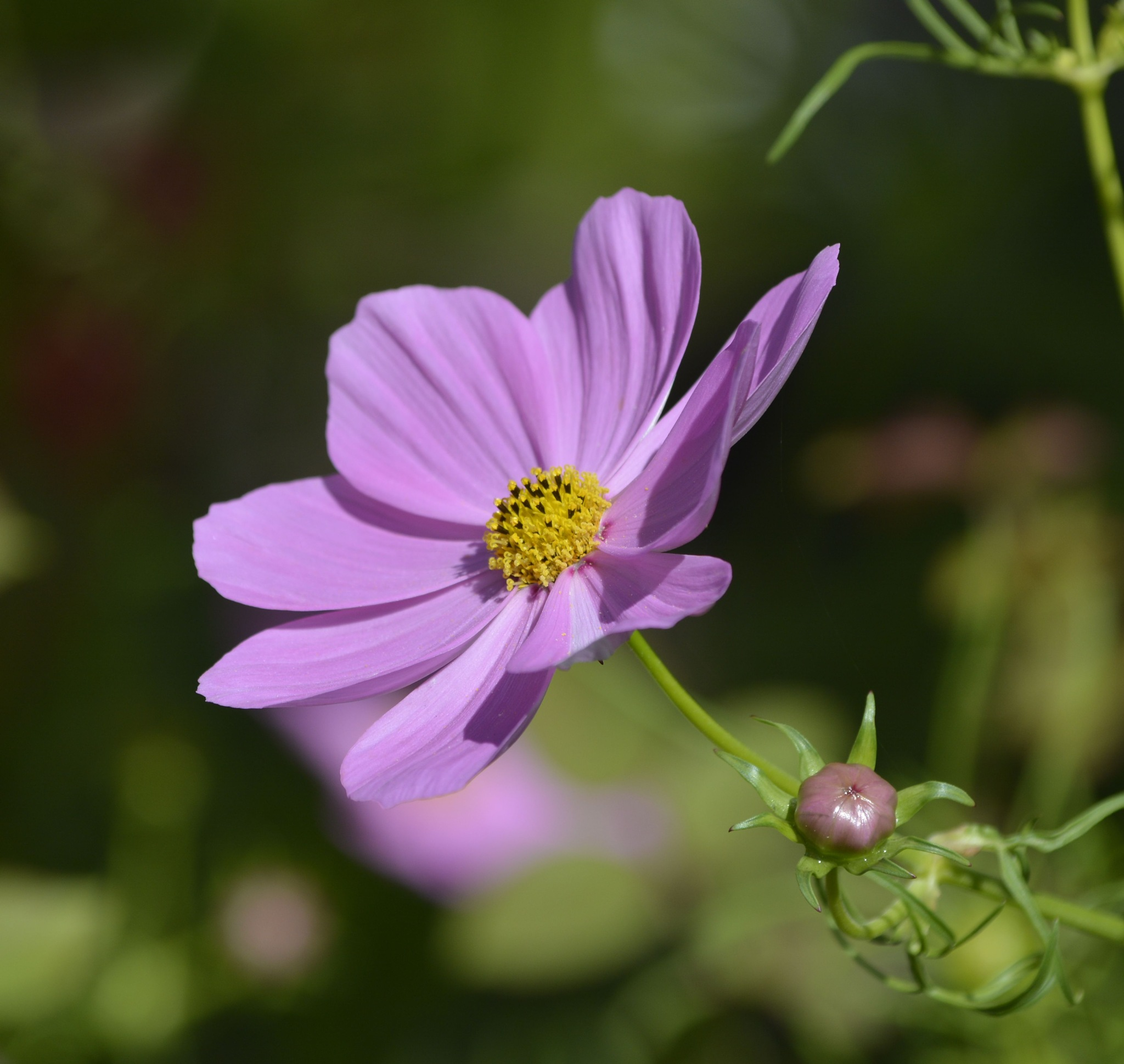 Lavender Flower by pscottwong