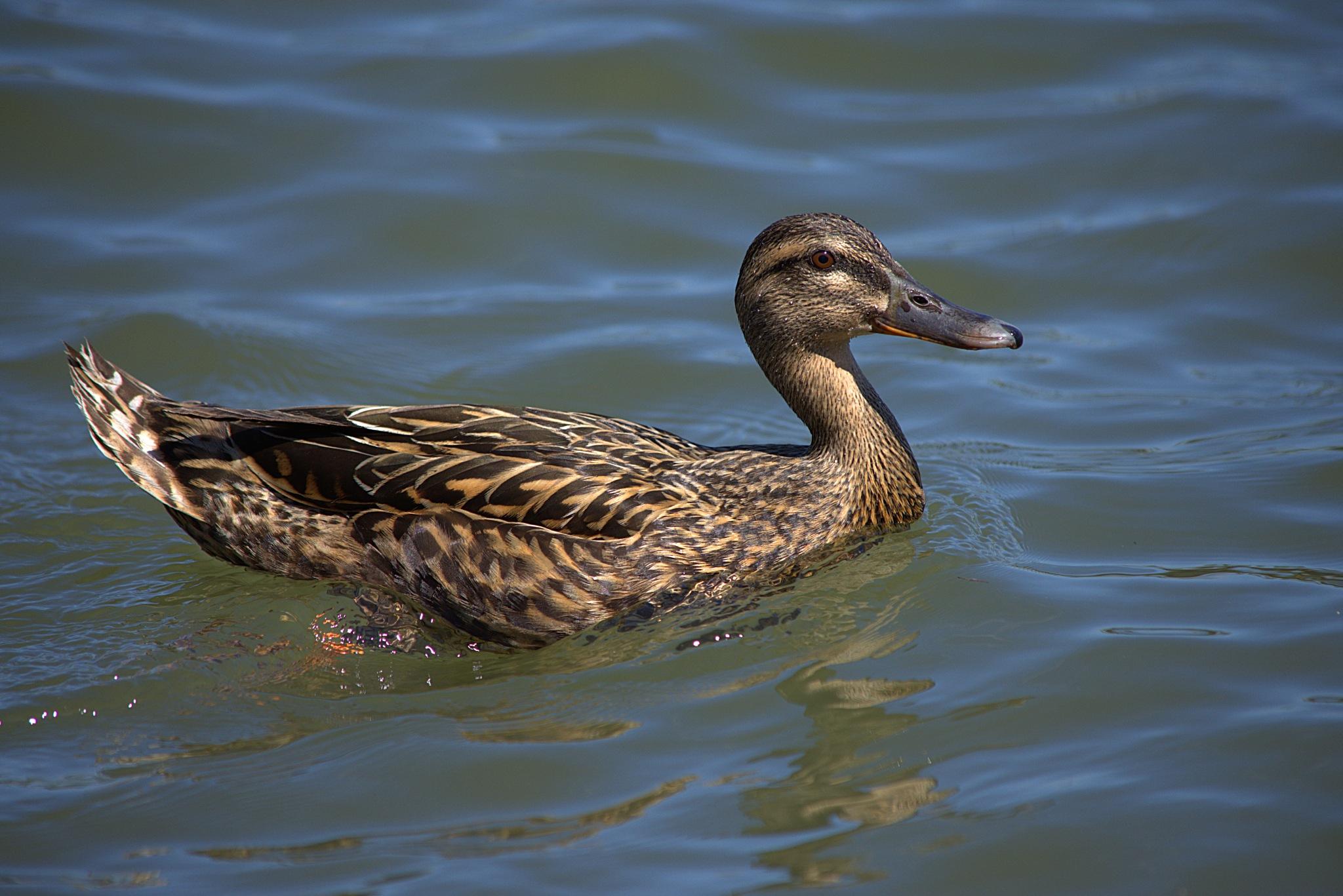 Mallard Duck by pscottwong