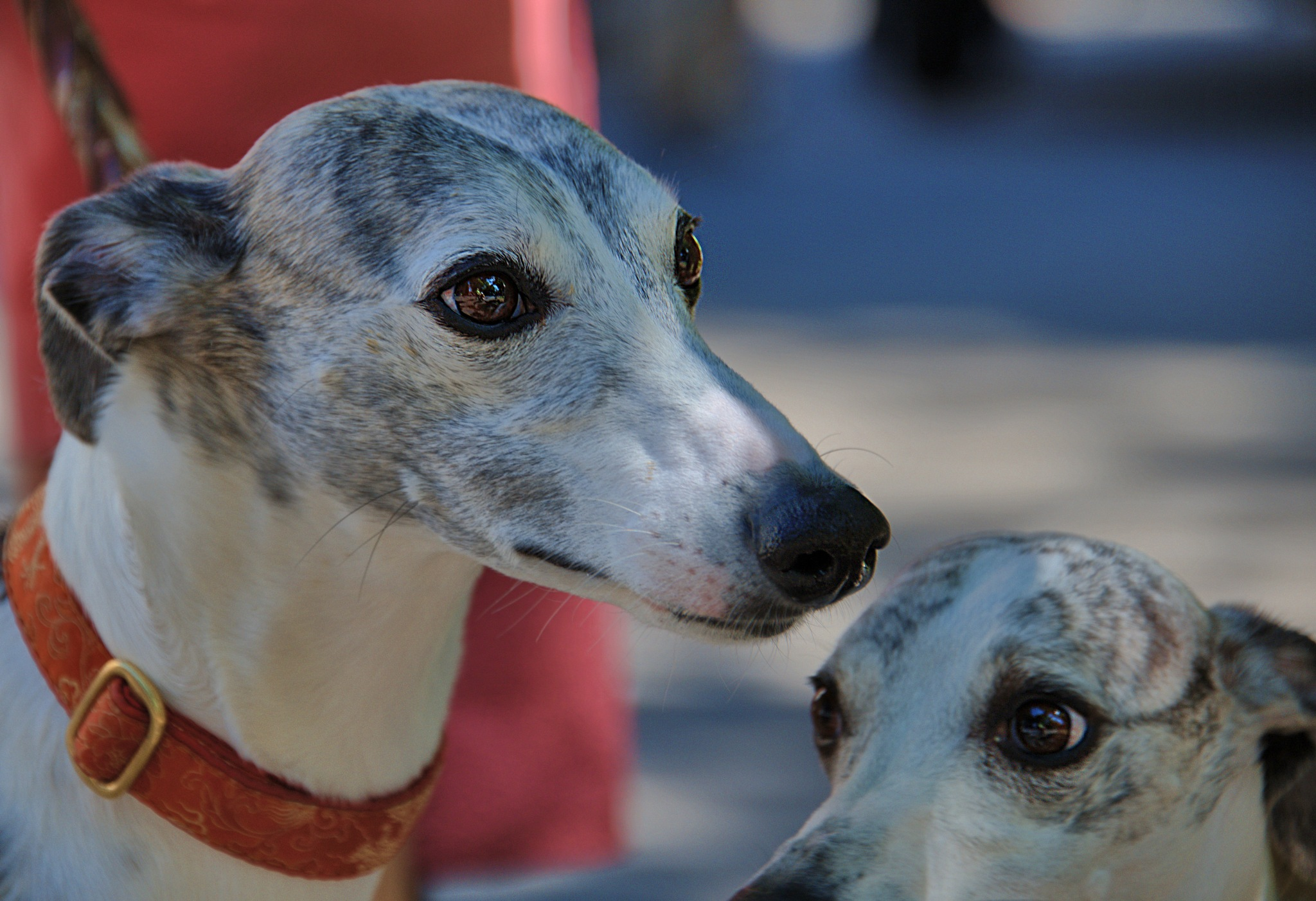 Greyhounds by pscottwong