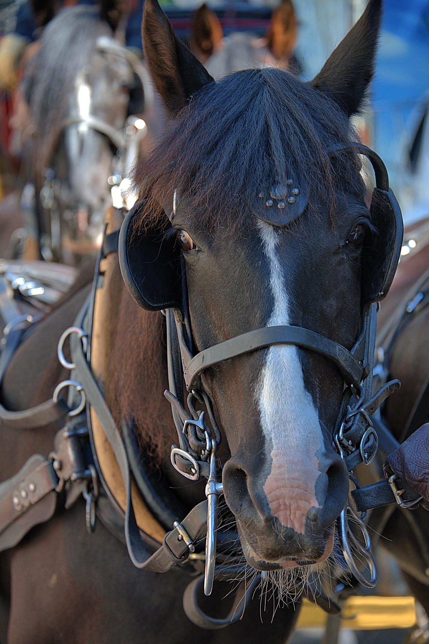 Alert Horse by pscottwong
