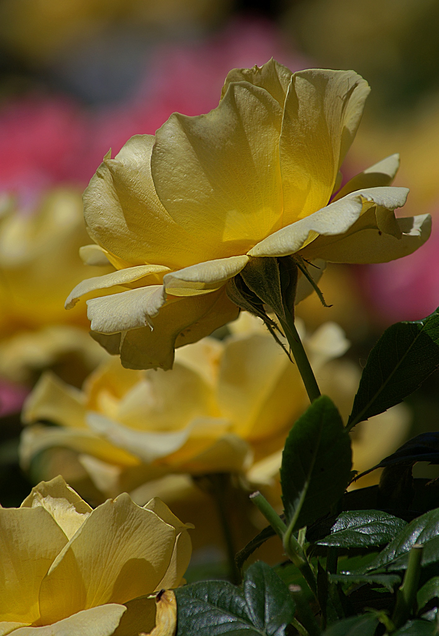 Yellow Roses by pscottwong