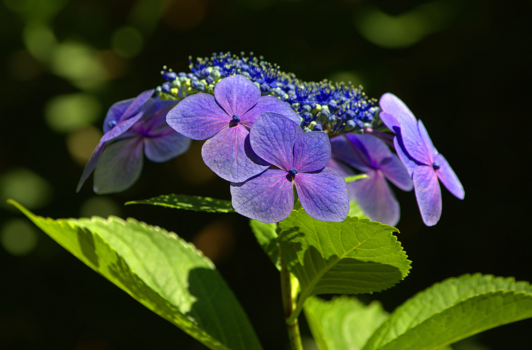 Hydrangea Flower Cluster by pscottwong